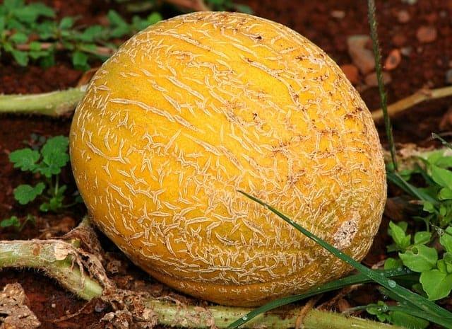 pick-perfect-cantaloupe