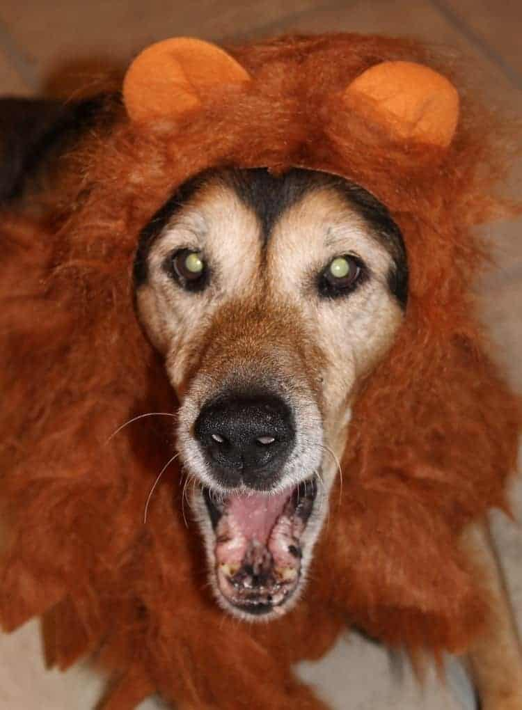 How do we treat our dogs like people? We dress them up in silly costumes! Read more ways + learn all about Tender & True Pet Nutrition for your superstar dog!